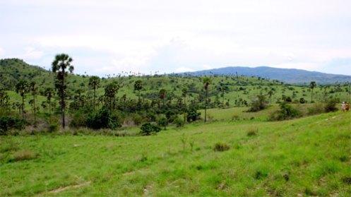 palmacera